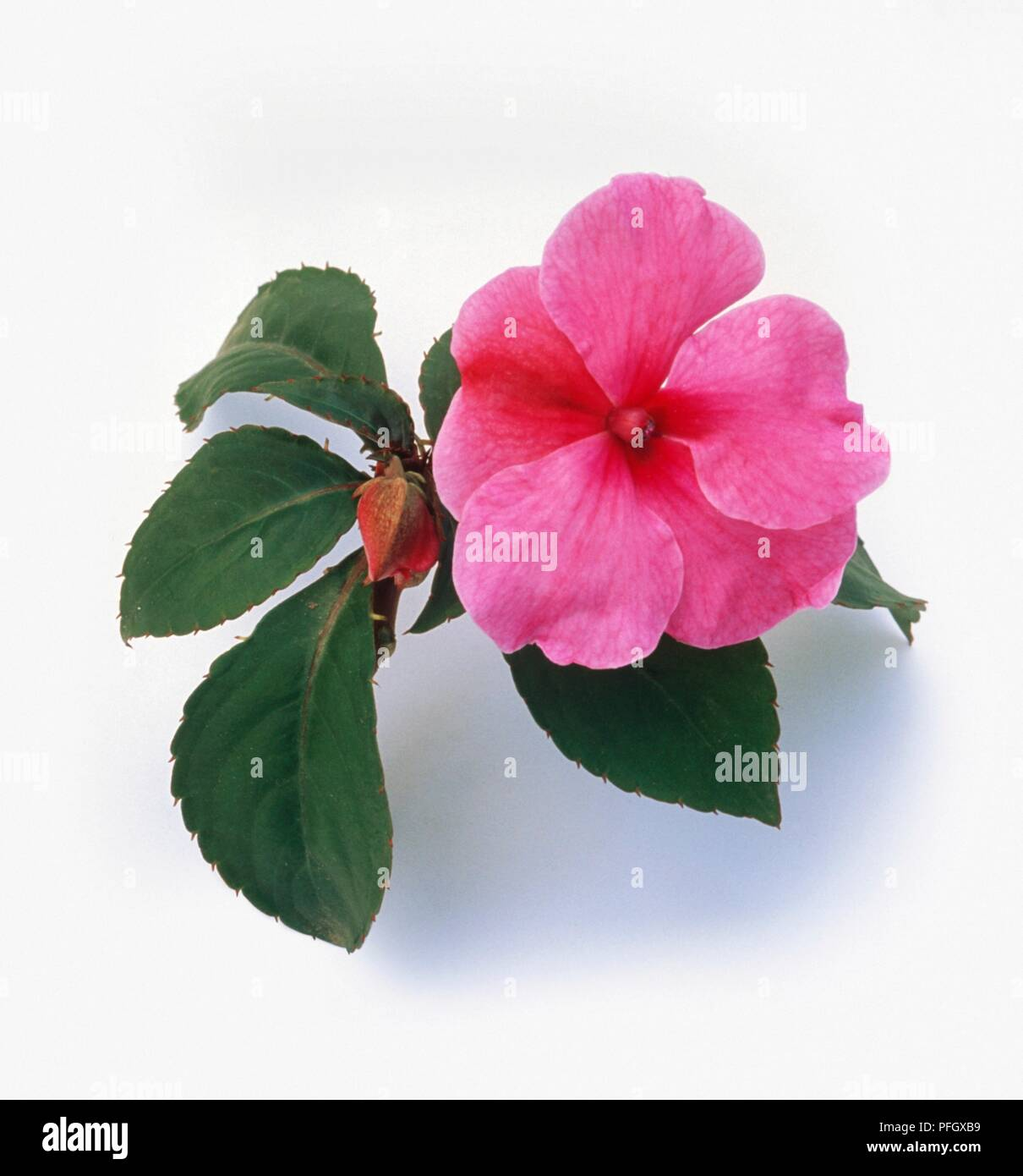 Impatiens Walleriana Deco Series Deco Pink Perennial With Pink