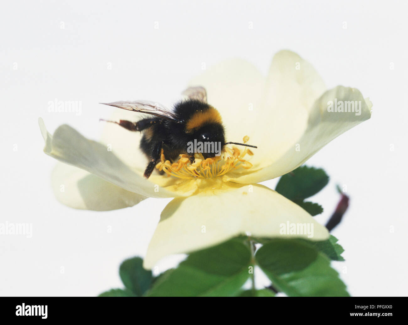 A bee sitting in a flower. - Stock Image