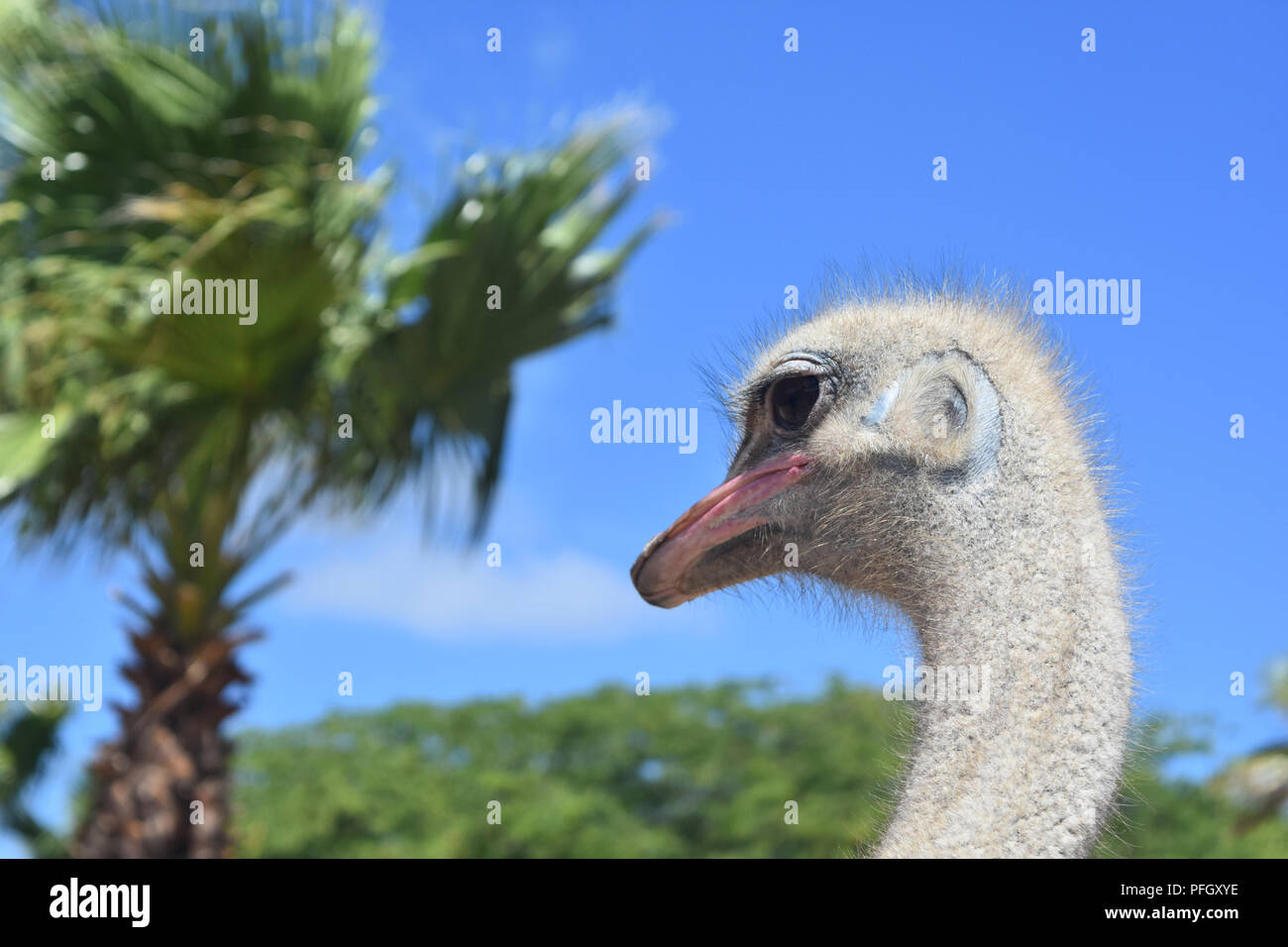 Fantastic ostrich with his neck slightly bent. - Stock Image