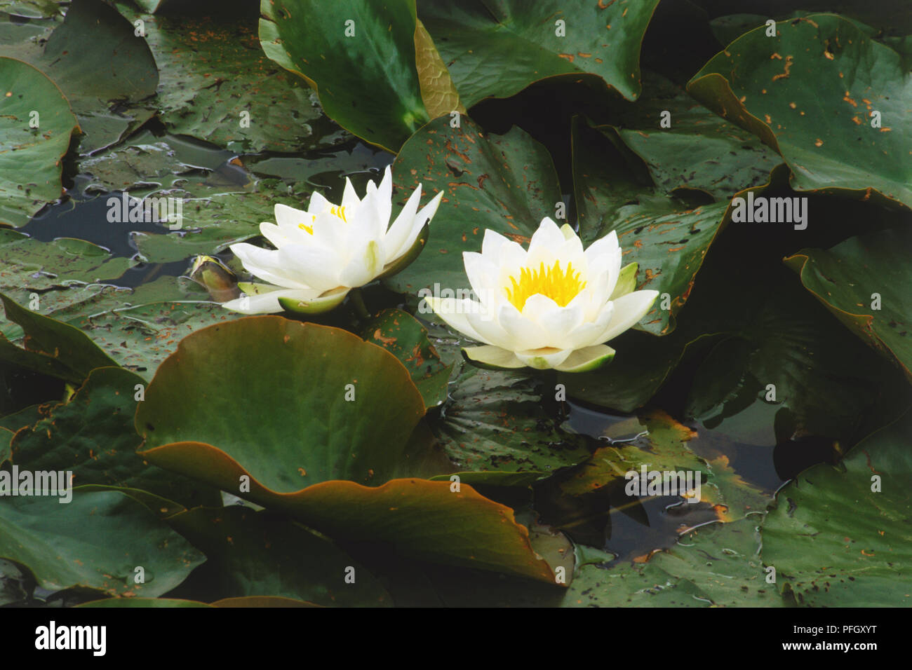 July birth flower stock photos july birth flower stock images alamy two white water lilies stock image izmirmasajfo