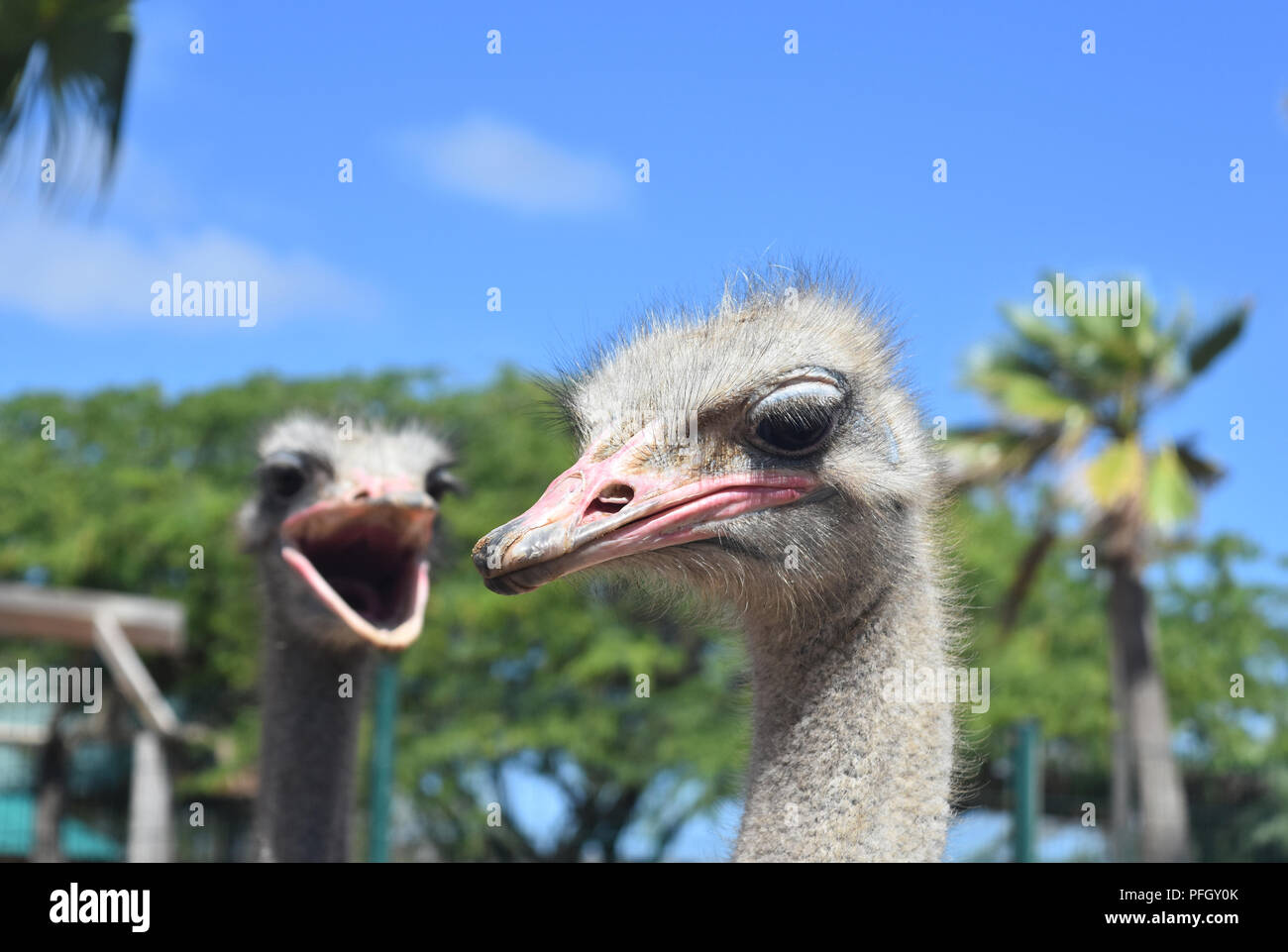 Ostrich pair, one with his beak wide open. Stock Photo