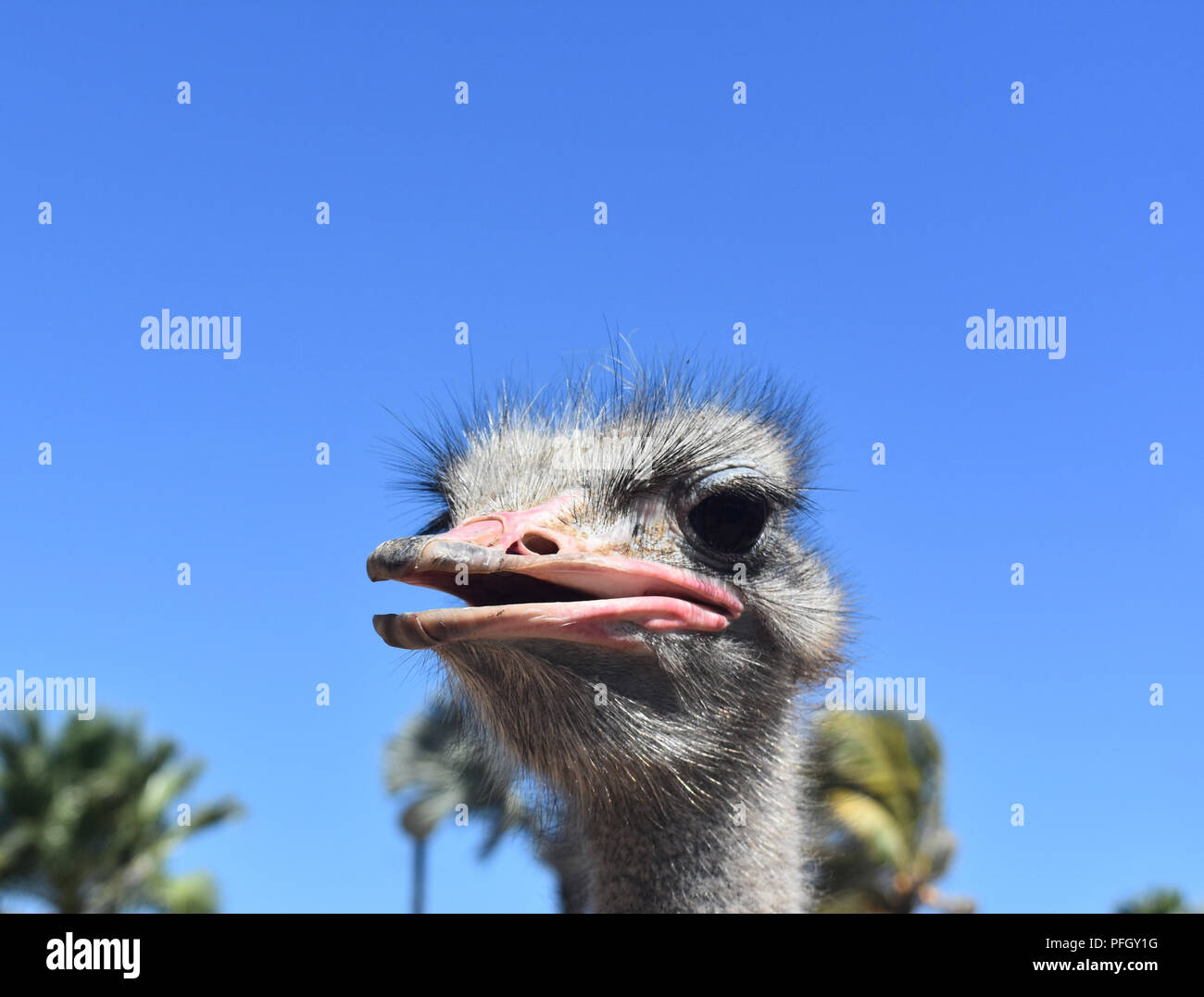 Looking closely into the face of an ostrich. Stock Photo