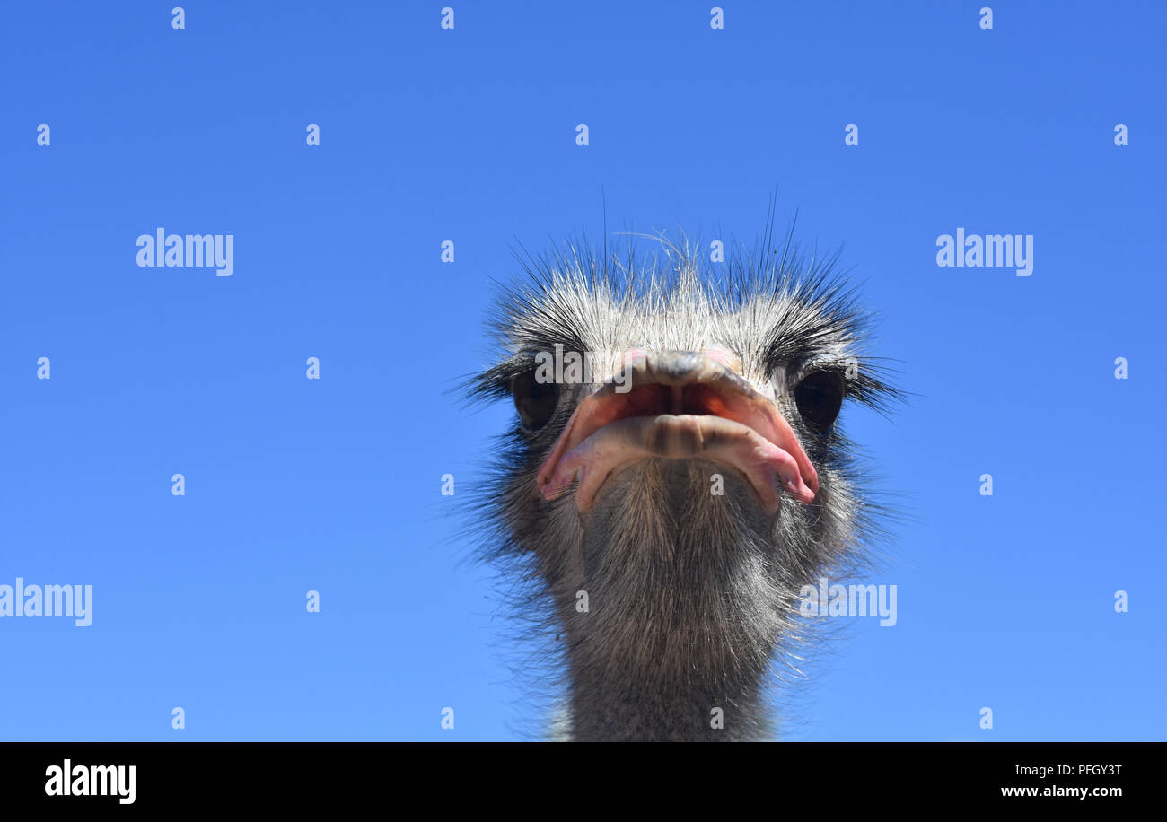 Direct close up look into the face of an ostrich. Stock Photo