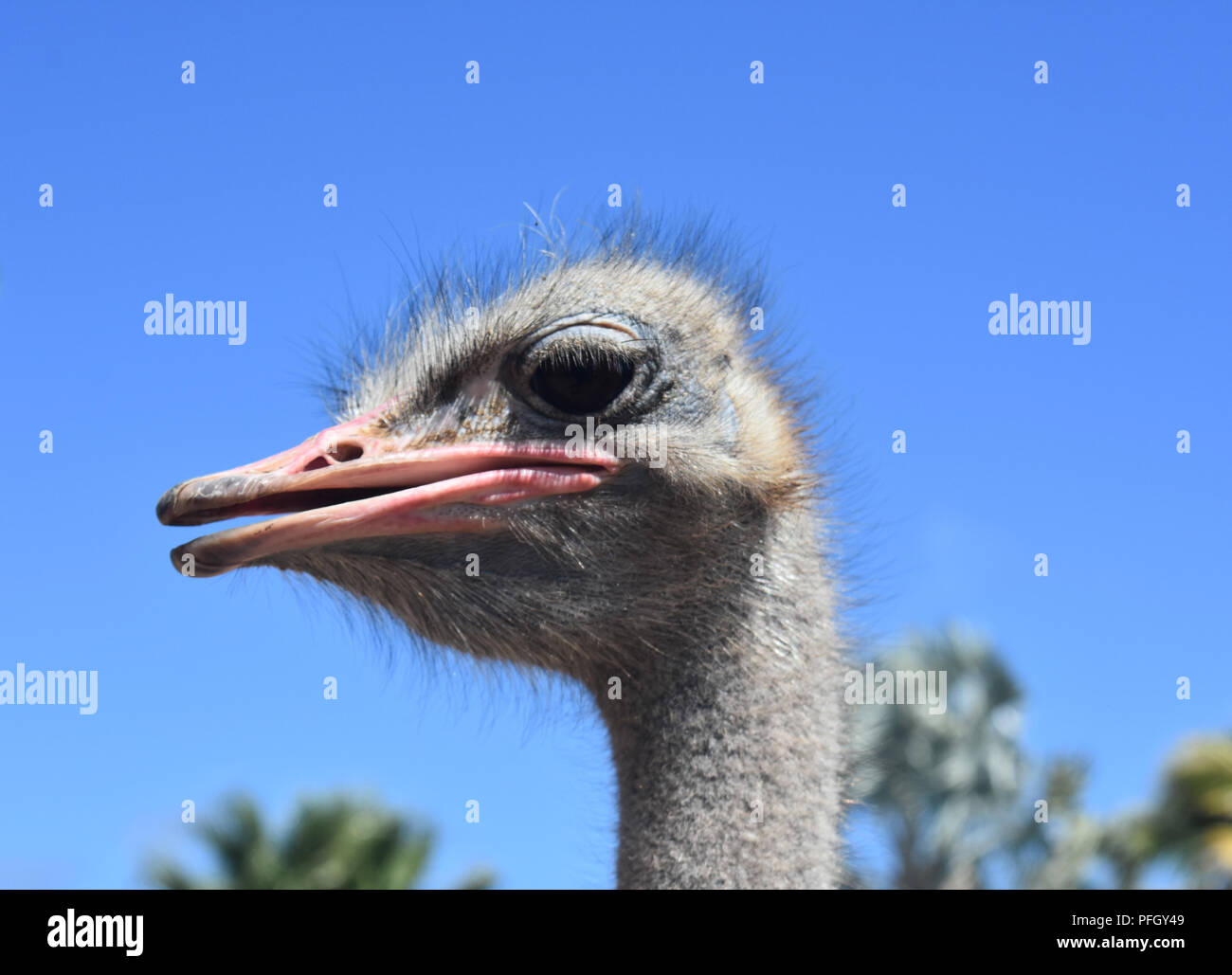 Great profile of a common ostrich with bright blue skies. Stock Photo