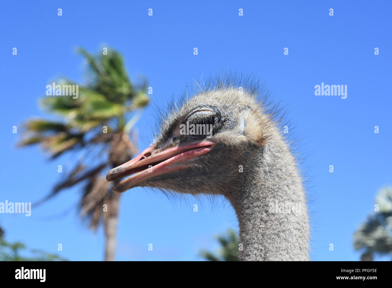 Common ostrich with a dark pink beak. Stock Photo