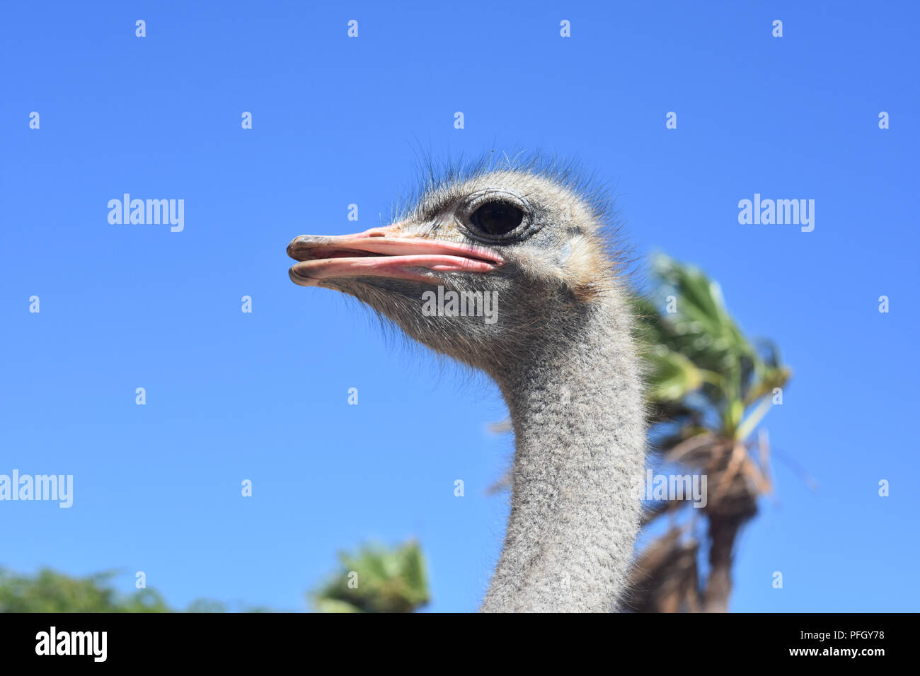 Side view of a large common ostrich. Stock Photo