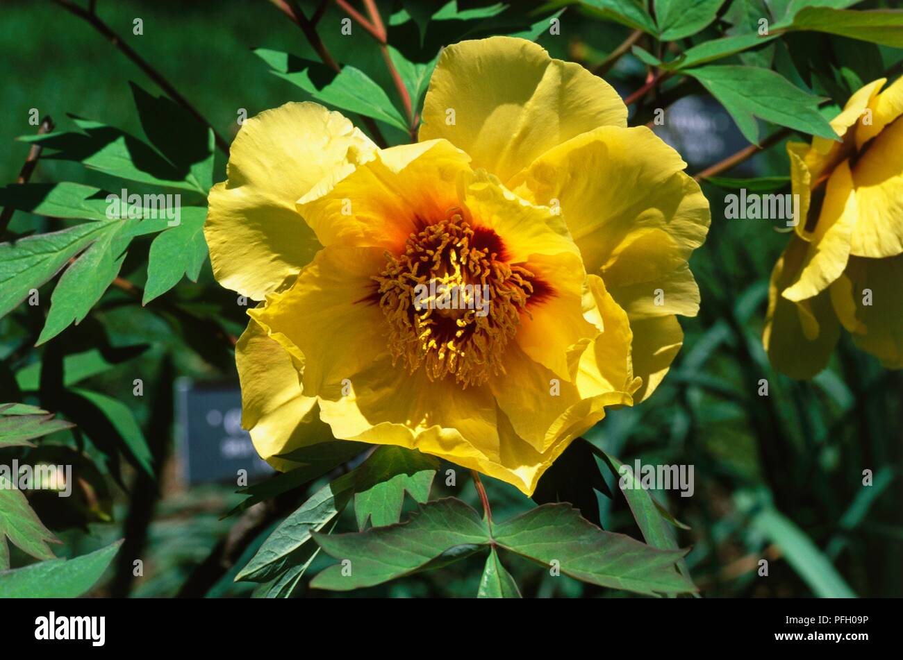 Paeonia Roman Child Tree Peony Yellow Flower Head Close Up