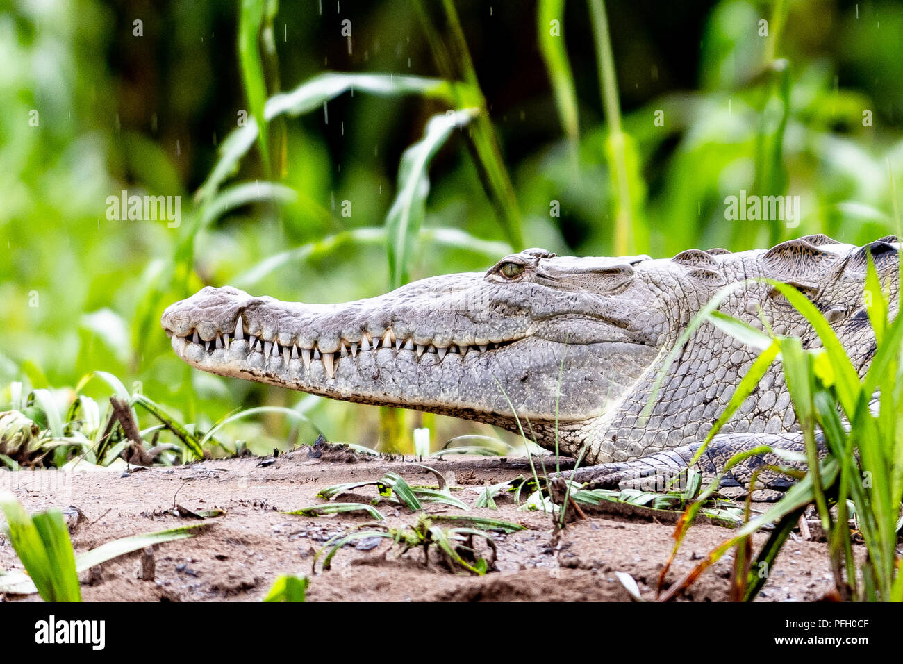 An alligator on the riverbank of Rio San Carlos. - Stock Image
