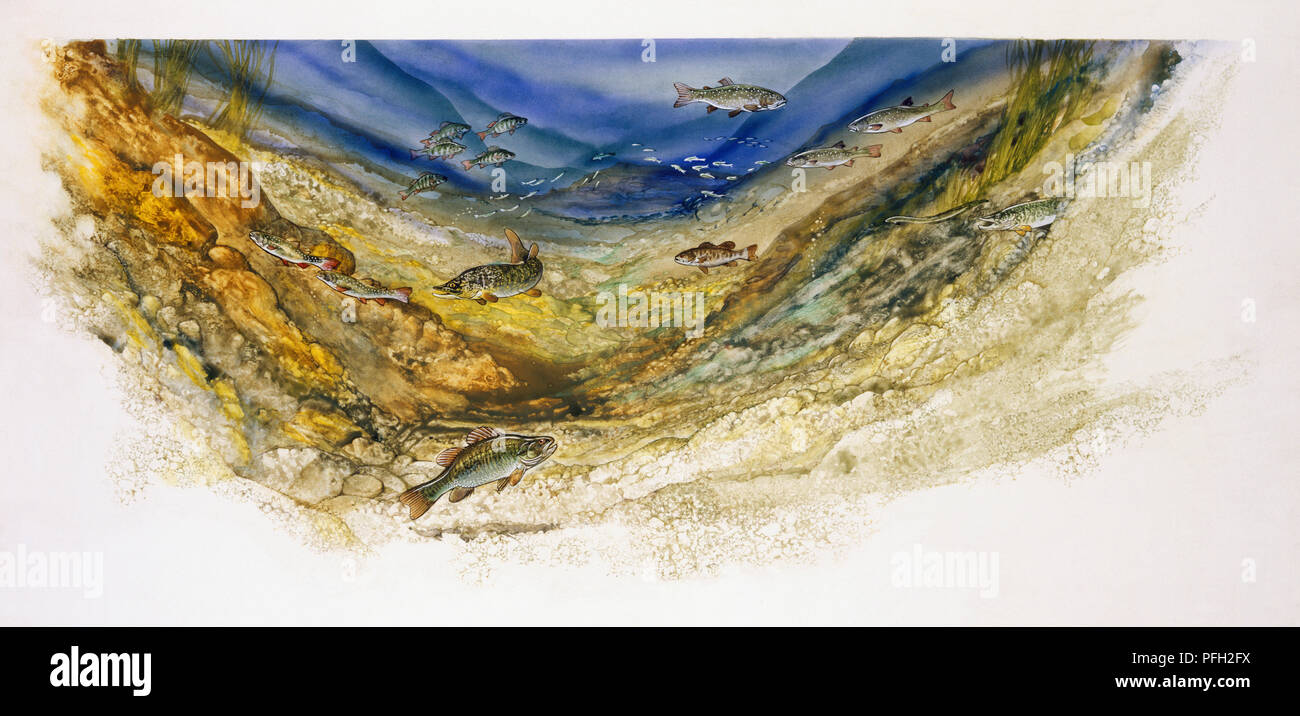 Watercolour Painting Of Underwater Showing Typical Fish Of A Large Lake Or Pond With Perch Arctic Char Muskellunge Large Mouth Bass Walleye Pike Eel Lake Trout Swimming Along The Bottom Stock Photo