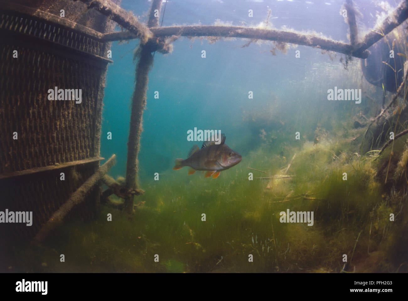 Underwater shot of a perch swimming in green murky water beneath a jetty structure covered in algae. - Stock Image