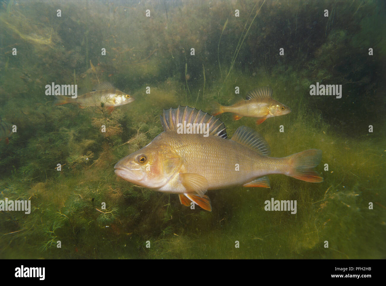 Underwater shot of a young perch fish swimming in the soft weeds of green murky waters of a river. - Stock Image