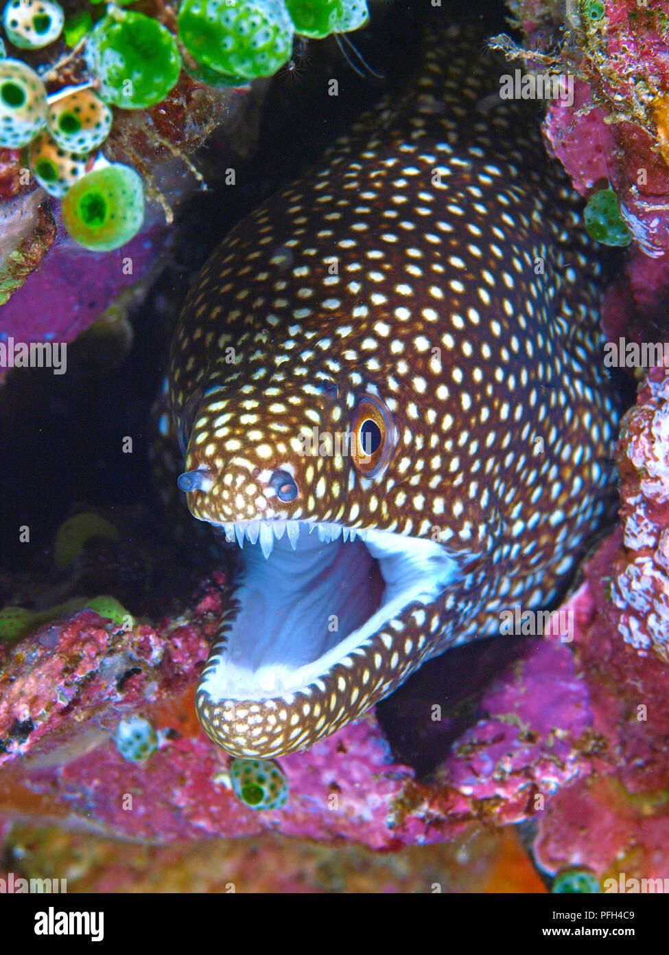 Weissmaulmuraene (Gymnothorax meleagris), offenes Maul, Ari Atoll, Malediven | Whitemouth Moray (Gymnothorax melearis), open mouth, Maldive islands Stock Photo