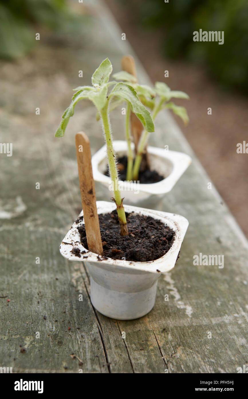 Helianthus annuus (Sunflower) seedlings in yoghurt pots on garden bench Stock Photo