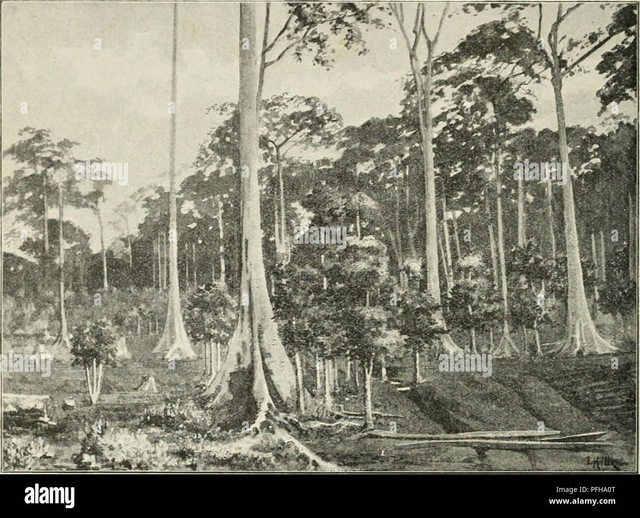 . Dans la grande forêt de l'Afrique centrale. Mon voyage au Congo et à la Mongala en 1896. Botany. 14 Chapitre Premier variés. Y. pi. 23-26.) Plus en aval du fleuve, on rencontre un village d'indigènes et une mission américaine. Un autre village plus considérable s'étend depuis la facto- rerie de la Société du Haut-Congo jusque dans le voisinage de Coquilhatville. Les habitants de ce village, appelés comme le village même Wangata (ou Wangatta), ont pour la plupart le type nègre grossier avec le nez épaté et les lèvres épaisses; cependant on rencontre aussi, notamment parmi les h - Stock Image