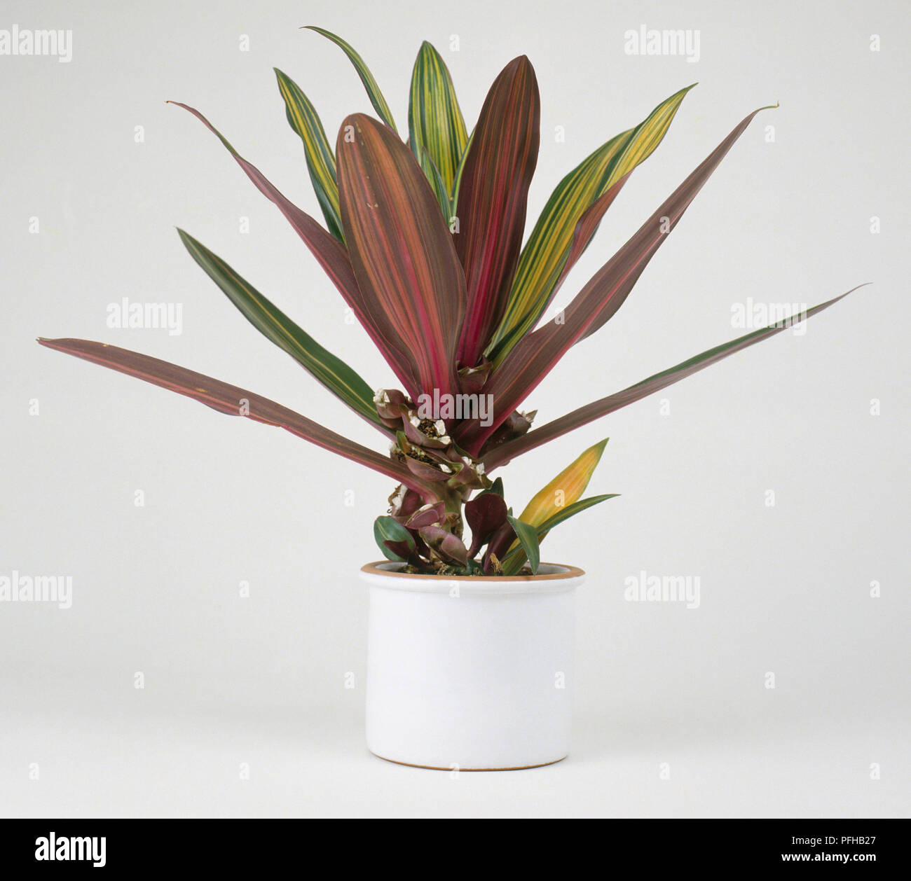 Tradescantia Spathacea Boat Lily Houseplant With Green And Purple