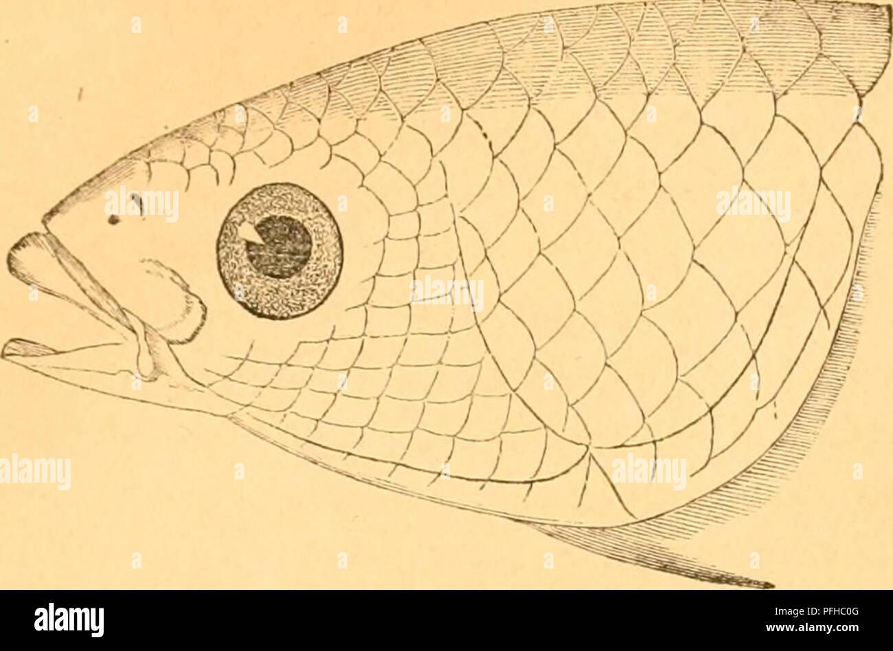 . Danmarks fiske. Fishes. 3()5. eller fem en ^»infcl, l)oié øfarpl)cti er ofruntet. ^Diunfcvigeinc naae tjcn un^ev ^uTfiluncrne, eller nøjagtigere uiiter te for= rcfle 5^ll^cr >cici Cjebencté neterflc 3{ant). Tiaciv ^lun- ten ciabnc^, feer man, at Uii ber f jæb en, l)oi^ ©rene eve fccrfceteé flate cg Incce, iiitfatteé af en brcb, flab cg meget t»)nt) Sæbe, Ijoié IHant er ffarp cg ufcen nogenlljccn()ct); tcnne £Tbe er fnarere LnufFagtig ent) l^ubagtig, mob 8iberiic blicer ten neget brebere ciib feranj i SKibten, l)v»or tlnbcrfjabené 0)rene fortil forene ftg, l)ar beti et lille Snbfnit, ell - Stock Image