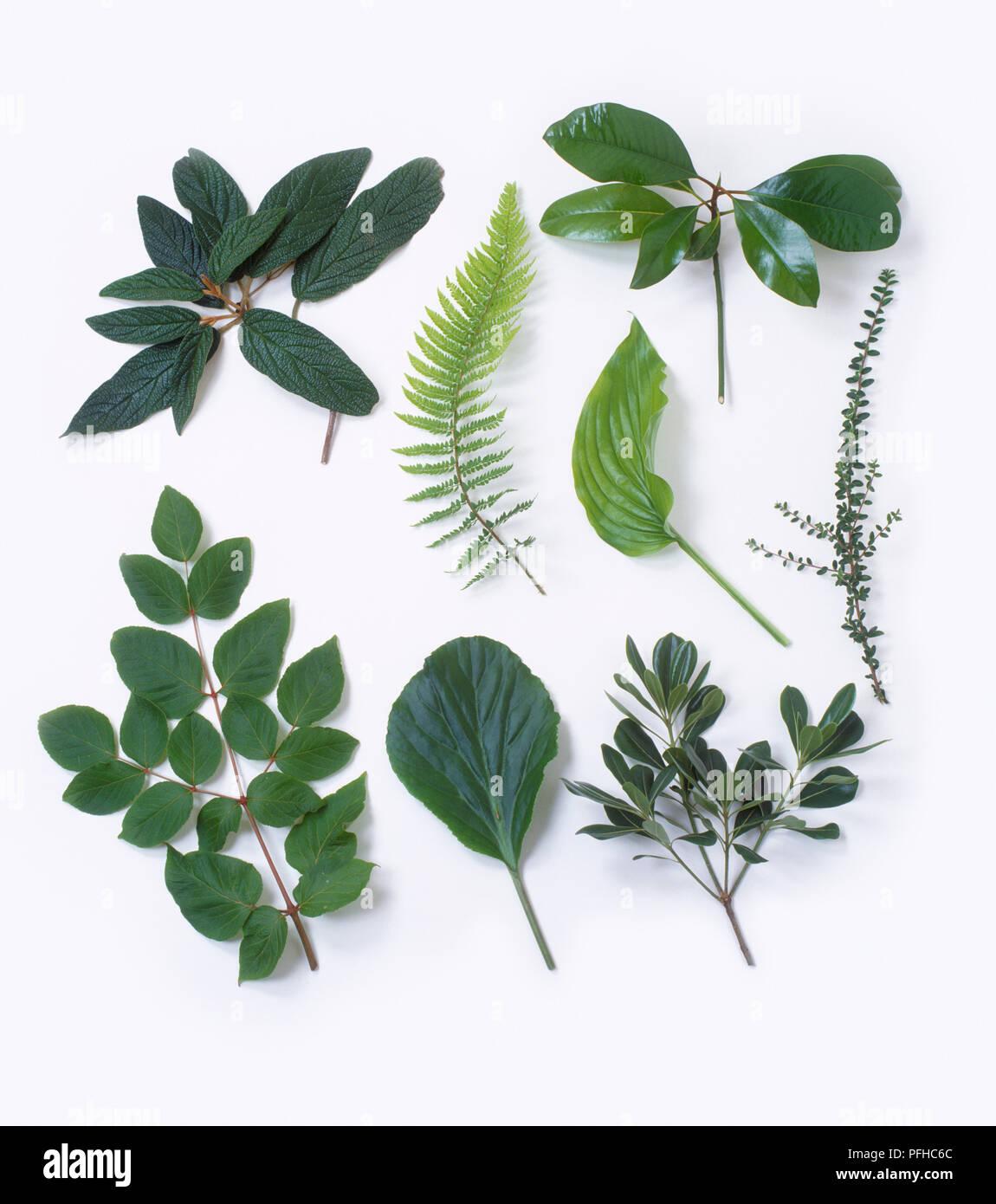 Assorted leaves, including Viburnum rhytidophyllum, Polystichum setiferum, Magnolia grandiflora, Hosta, Cotoneaster horizontalis, Aralia chinensis, Bergenia, Pittosporum tobira - Stock Image