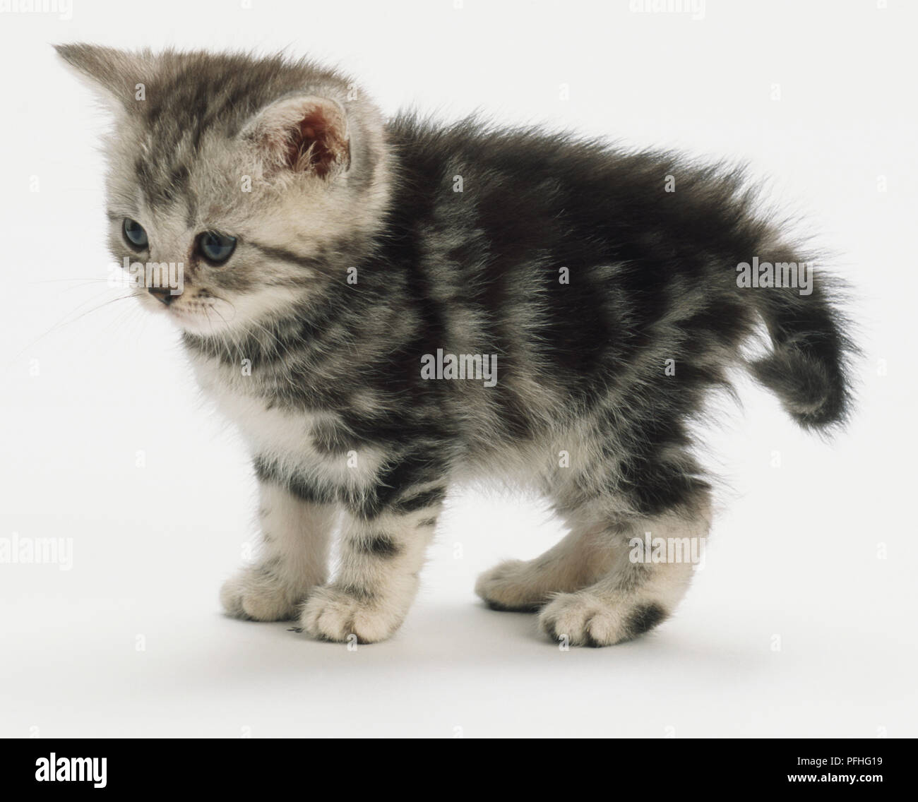Grey Kitten With Tabby Markings And Blue Eyes Standing Looking Forward And Down Ears Bending Forward Rear Paws Turning Out Slightly Fluffy Fur Tail Bending Around Rear Side View Stock Photo