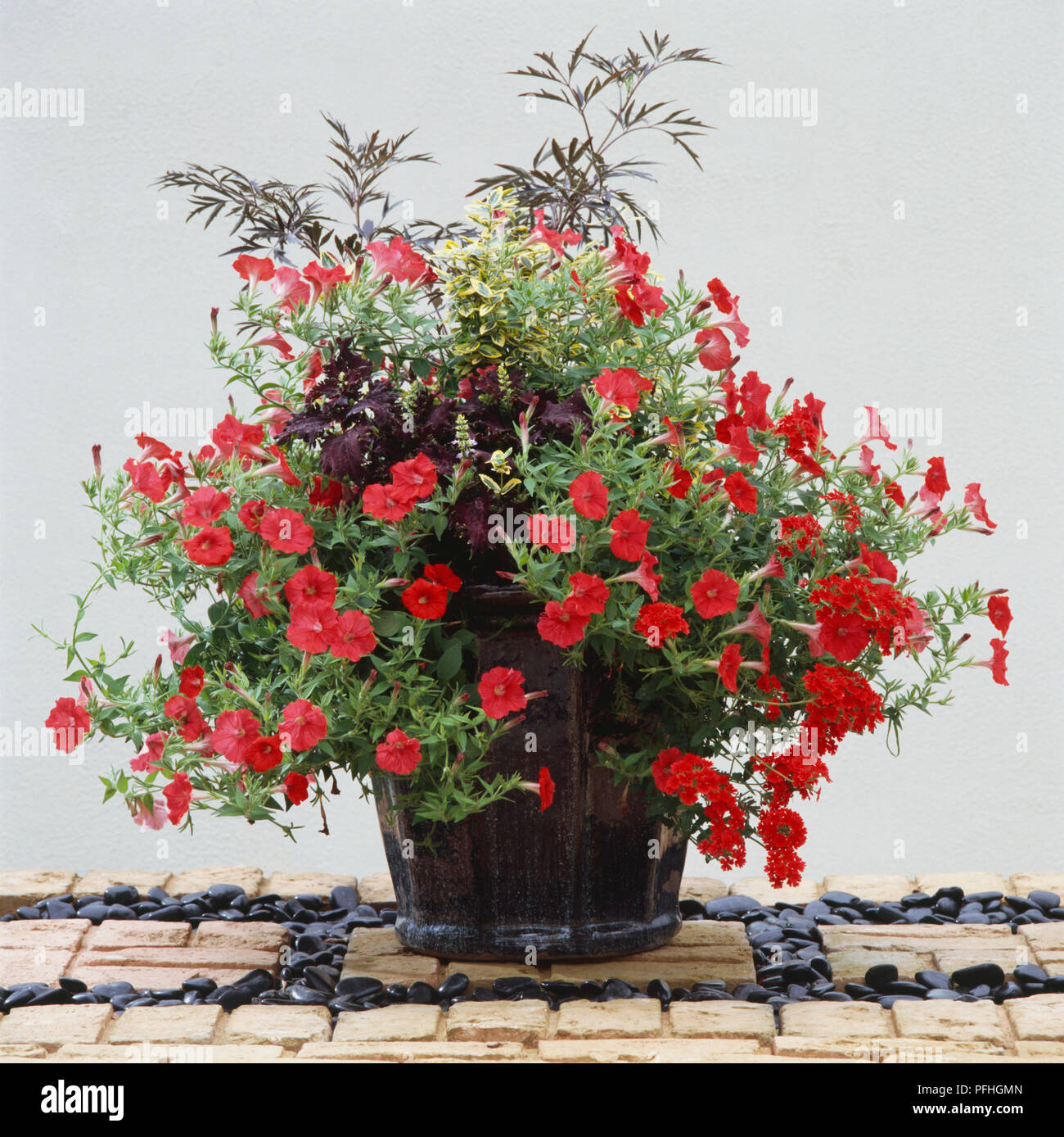 Euonymus fortunei 'Emerald 'n' Gold', Petunia 'Trailing Red', Sambucus nigra 'Black Lace', Solenostemon 'Midnight', planted in dark glazed pot - Stock Image