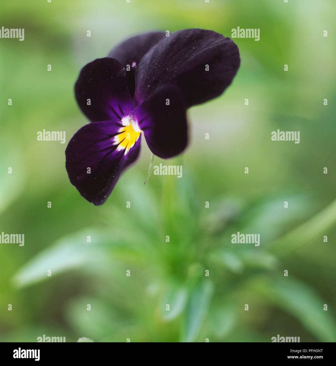 Violet viola bowles black deep velvet purple flower five violet viola bowles black deep velvet purple flower five petals yellow centre mightylinksfo
