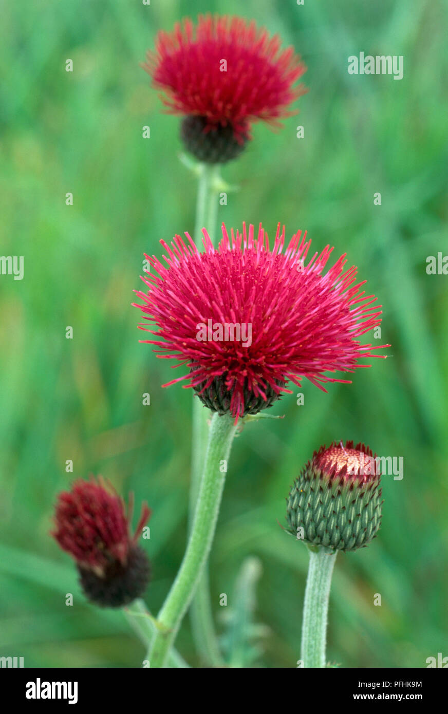 Cirsium rivulare 'Atropurpureum', pink thistle flower heads at different stages of growth, close-up - Stock Image