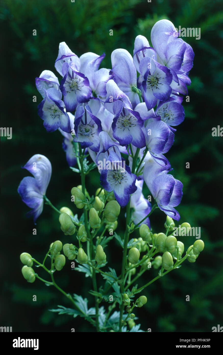 Aconitum X Cammarum Bicolor Cluster Of Blue And White Flowers And