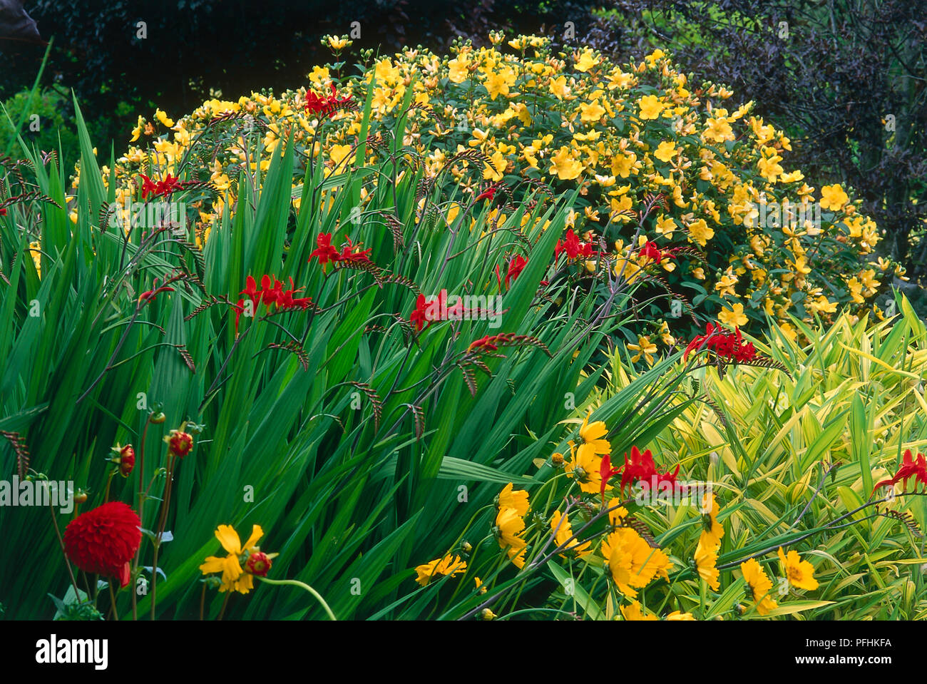 Mixed Garden Plants With Yellow And Red Flowers Crocosmia Firebird