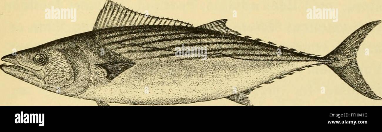 . Danmarks fauna; illustrerede haandbøger over den danske dyreverden... 95 bestaar af smaa, til Dels utydelige Skæl; det naar knap til Spidsen af de tilbagelagte Brystfinner. Farven er staal- blaa paa Ryggen, uden eller kun med utydelig mørk Mar- morering; Siderne og Bugen sølvhvide uden Baand. R, 11 — 13; R.,2 -- 1112M- VIII-IX; G 2 - 11-12 4- VII—VIII; Br22-23; Bu 1  5; H x + 17—19-hx. Den ustribede Pelamide synes at kunne blive henved halvfjerdsindstyve Centimeter lang. Dens Hjem er vist- nok Middelhavet og Atlanten, men den er kun sjælden fanget og lidet kendt. I Nærheden af vore Farvand - Stock Image