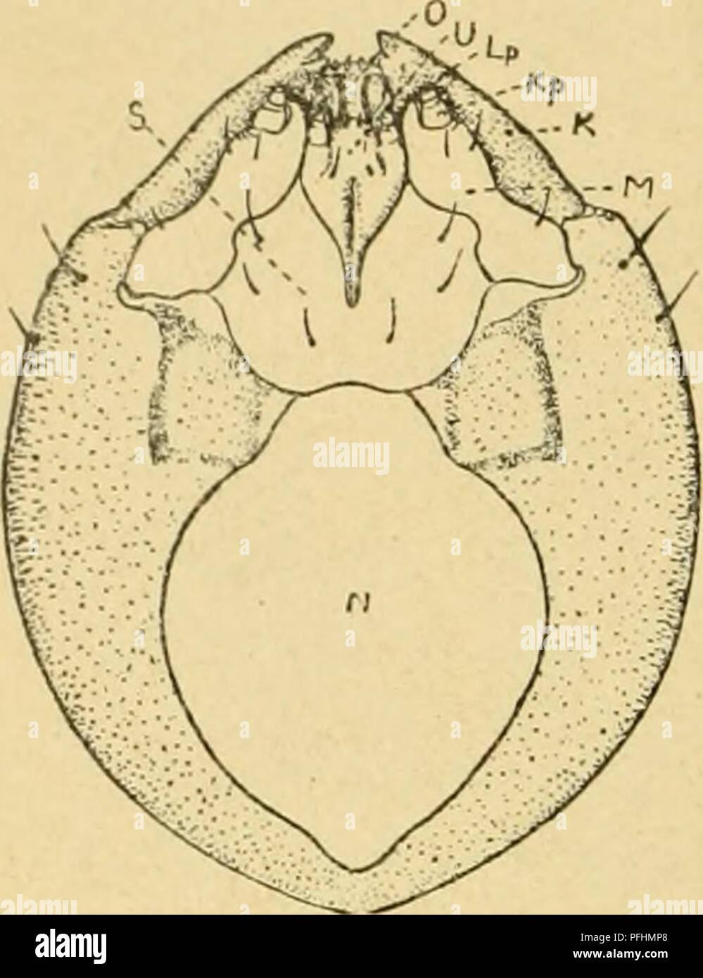 . Danmarks fauna, Biller. Beetles. 6 mer findes ikke, men de 3 Thoraxled besidder paa Be- nenes Plads nogle fine Haar, der kan sidde ophøjet paa en svag Fremragning De simple, runde eller aflange Spirakler findes paa Prothorax og paa de 8 første Bag- kropsled. Pupperne vil let kunne ken- des paa Snuden, der stemmer over- ens med Imagos. Pupperne er iøv- rigt karakteriserede ved de paa be- stemt Maade anbragte smaa Haar paa de forskellige Dele af Kroppen.. Fig. 7. Hoved af en Pissodes - Larve, set nedenfra. Lp Læbe- palpe, Kp Kæbepalpe, /CKindbakke, 7H Kæ- be, N Nakkehul, O Overlæbe, S Submen-  - Stock Image