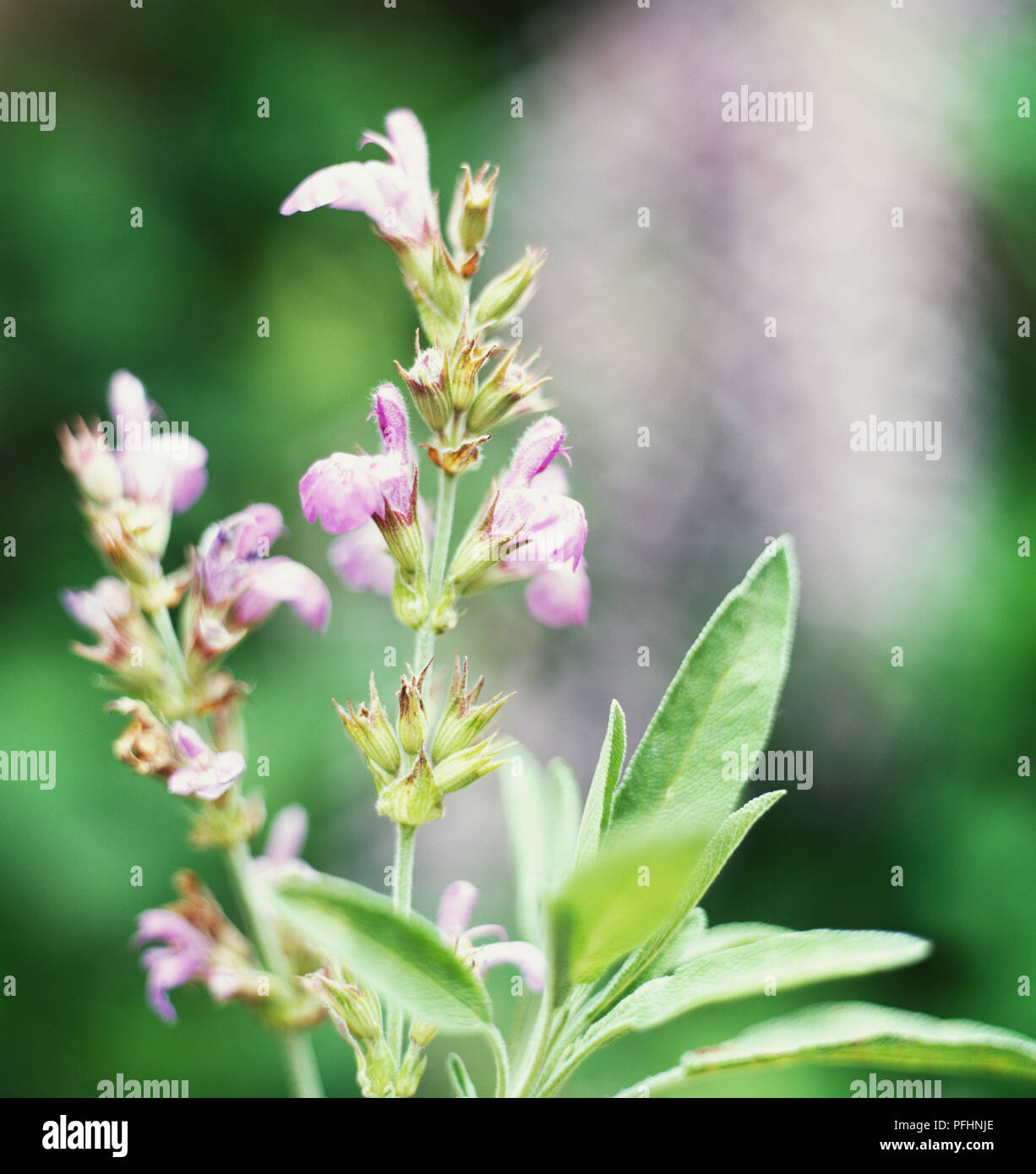 Narrow Leaved Sage Spanish Sage Salvia Lavandulifolia Flowers Buds And Small Narrow Oval Textured Green Leaves Close Up Stock Photo Alamy,Easy Meatball Recipe For Spaghetti