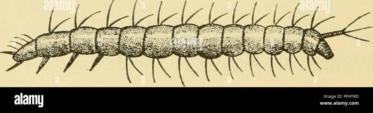 Danmarks Fauna, Biller. Beetles. Pig. 113. Ptinella Aptera Larven .