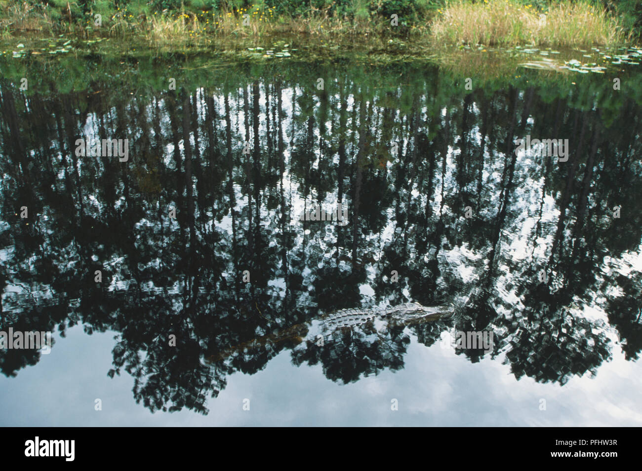 USA, Georgia, Okefenokee Swamp National Wildlife Refuge, Suwanee Canal Recreation Area, alligator mississippiensis, American alligator, swimming against reflections of trees in water, side view - Stock Image