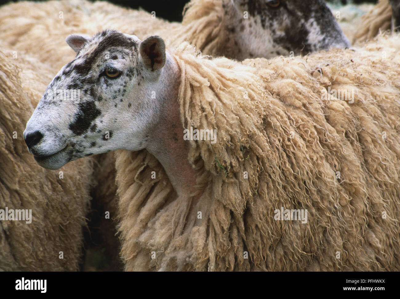 Sheep with black and white head among its herd, side view - Stock Image