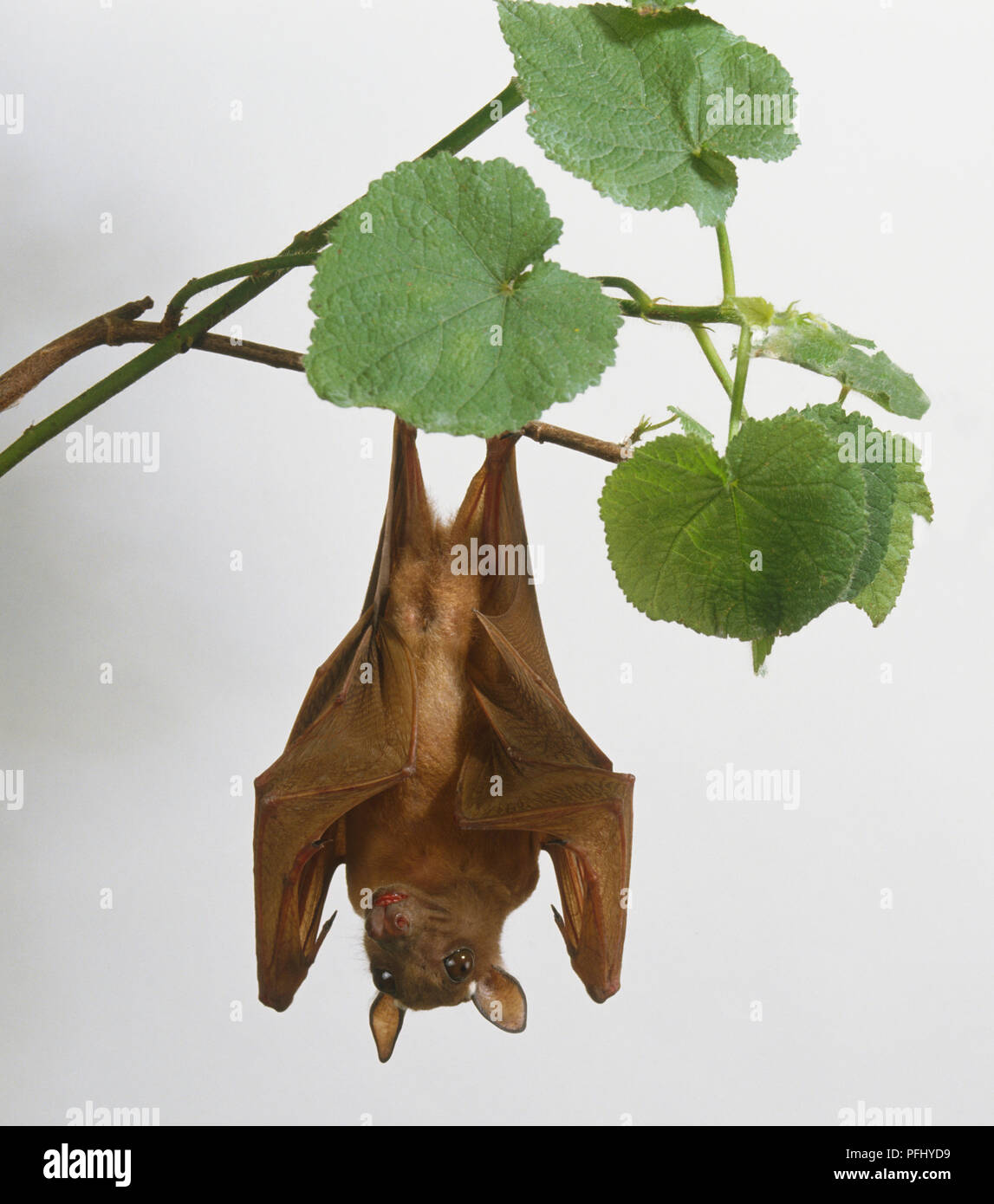 Bat (Chiroptera sp.) hanging upside down from flowering plant, front view. Stock Photo