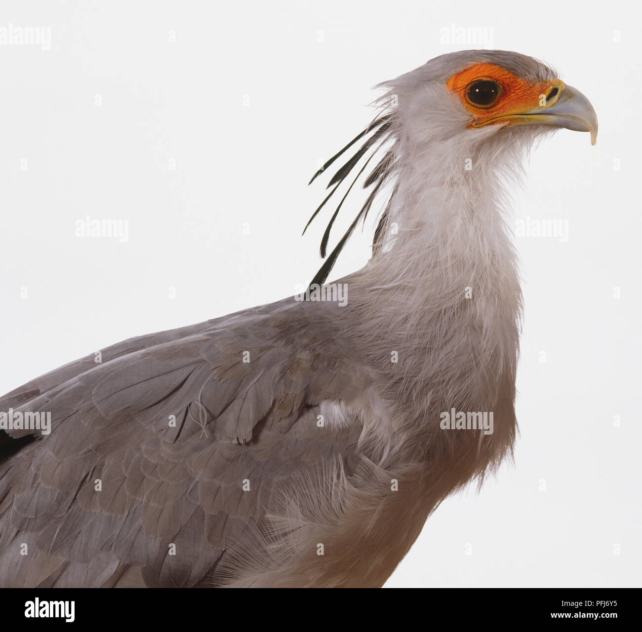 Secretary Bird (Sagittarius serpentarius), side view Stock Photo
