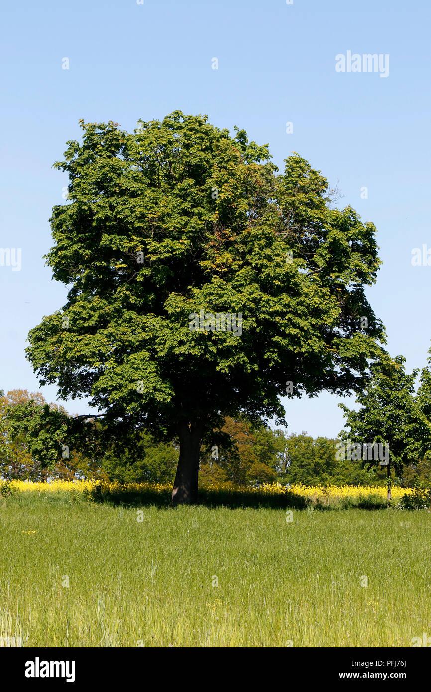 Baum, Muehlenbecker Land, Brandenburg. - Stock Image