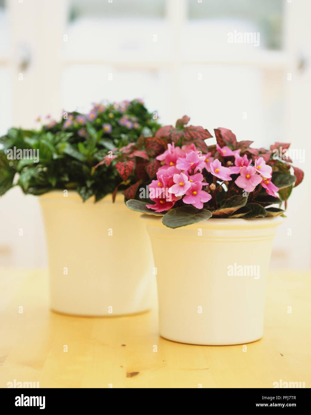 Saintpaulia African Violet And Exacum Affine Persian Violet In