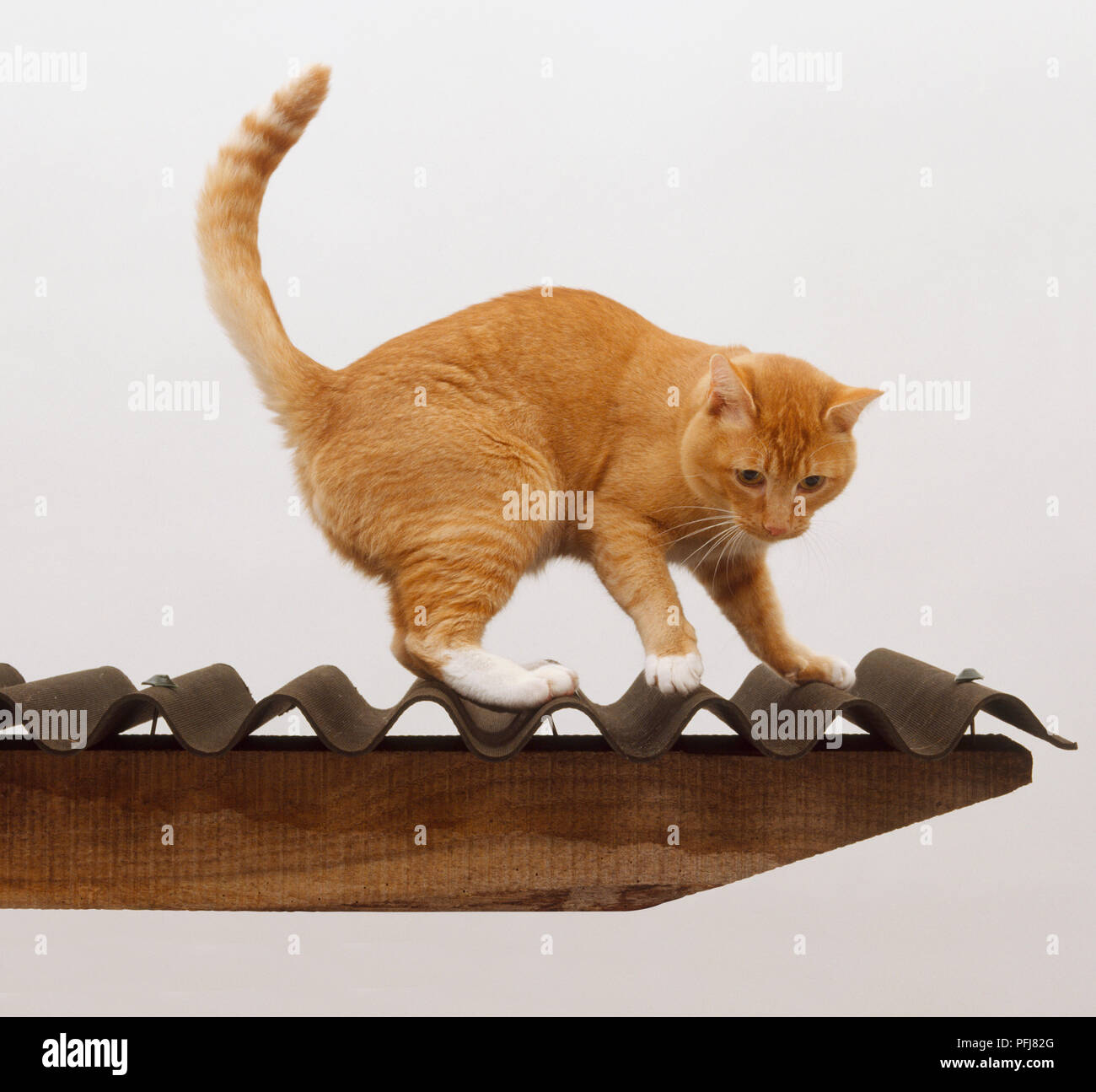 Ginger Tabby Cat (felis catus catus) standing with arched back on corrugated iron roof, side view - Stock Image