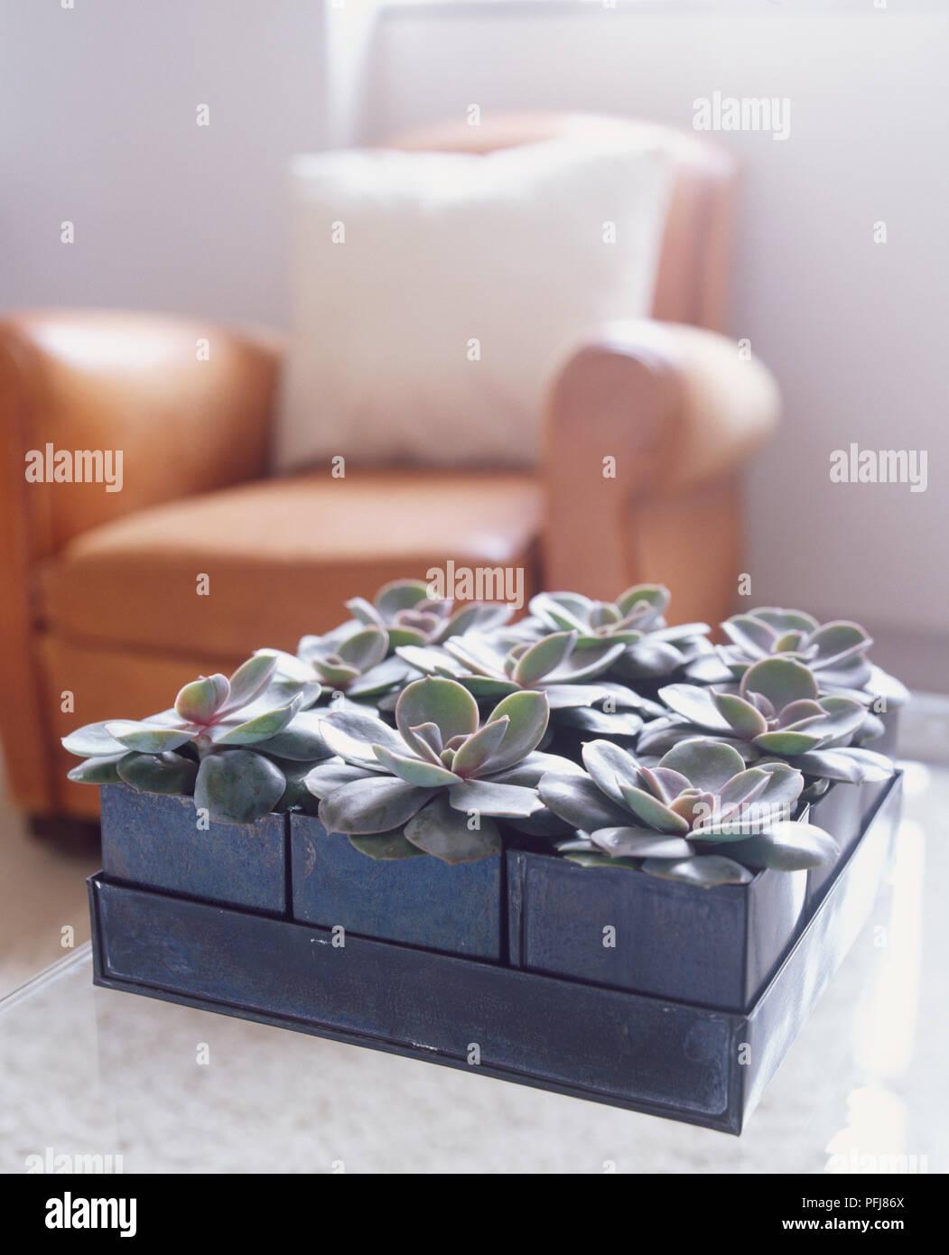 Echeveria 'Duchess of Nuremberg' plants arranged in modular square pot on living room coffee table. - Stock Image