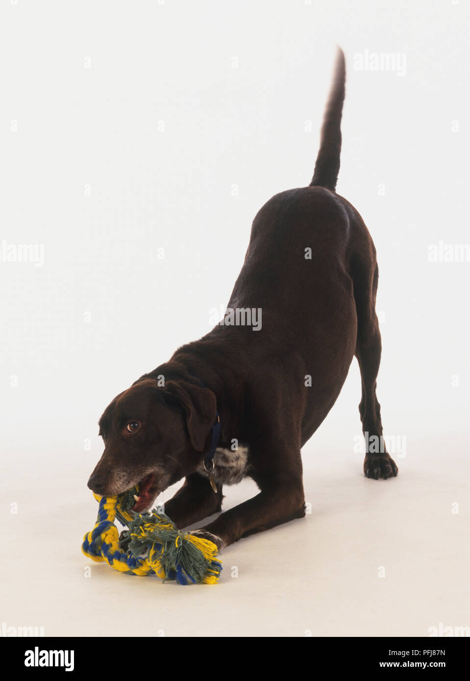 Brown dog crouched on front legs with its hindquarters and tail sticking up - Stock Image