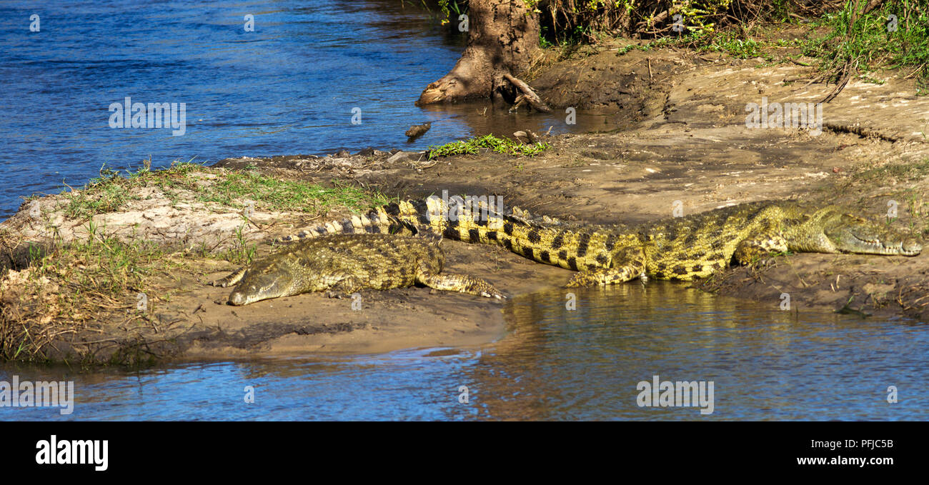 The Katuma River is famous for it cave digging crocodiles, amongst some of Africa's largest. - Stock Image