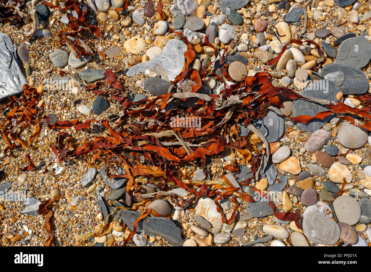 Red Brown seaweed on a pebble beach in South Devon ENGLAND UK - Stock Image