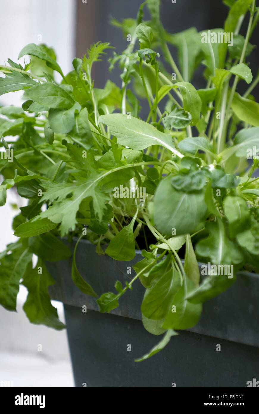 Salad grown in window box, close-up - Stock Image