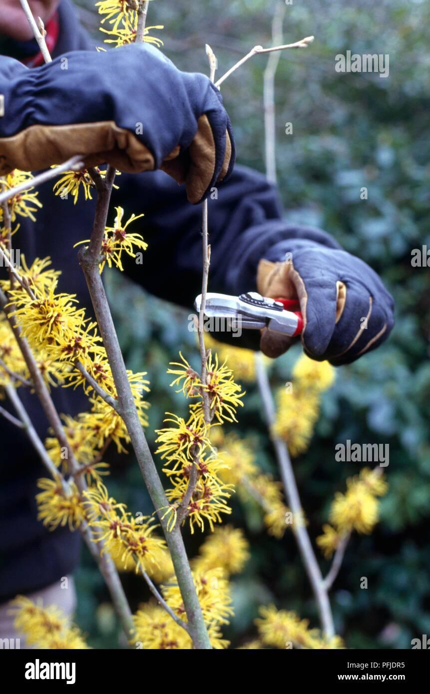 Using Secateurs To Prune Hamamelis Witch Hazel Stock Photo