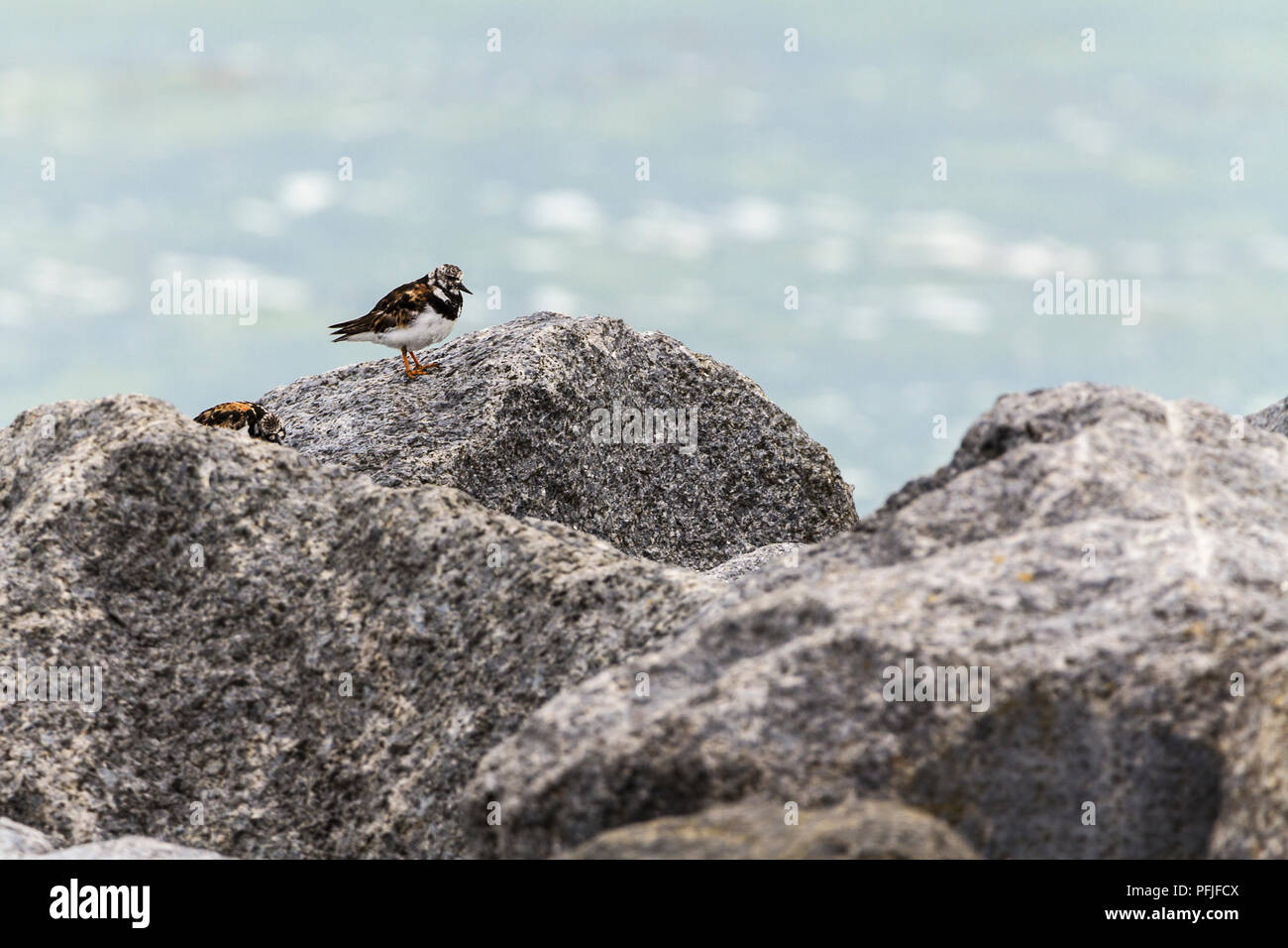 Turnstone (Arenaria interpres) visitor to UK coastline on rocks on the beech at Shoreham by sea UK. Orange brown back black and white markings on head - Stock Image
