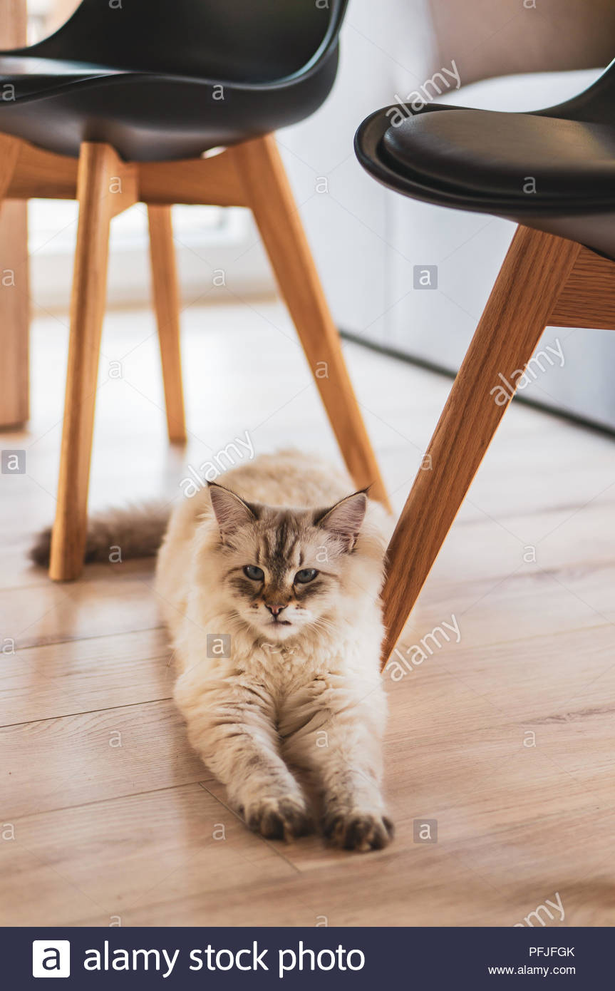 Furry Siberian house cat lying on a floor in a house Stock Photo