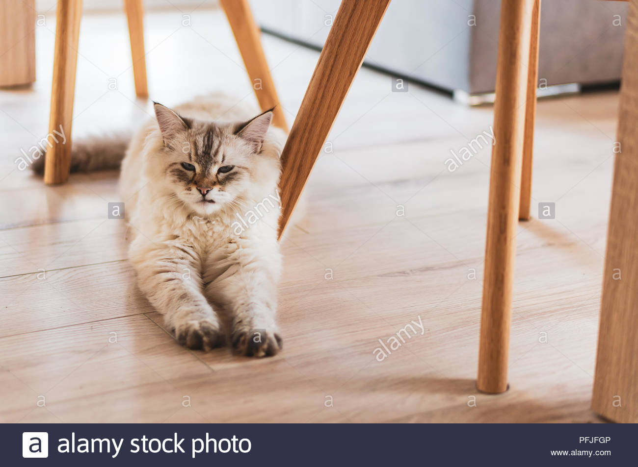 Furry Siberian house cat lying on a floor in a house - Stock Image