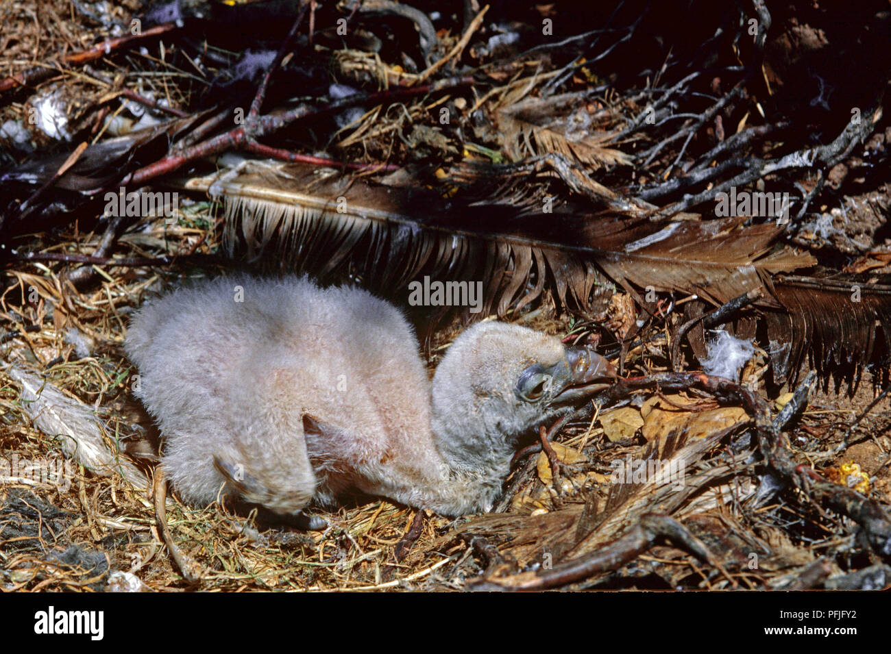 Griffon Vulture or Eurasian Griffon (Gyps fulvus) - nest with a chick. Southern Spain. Europe - Stock Image