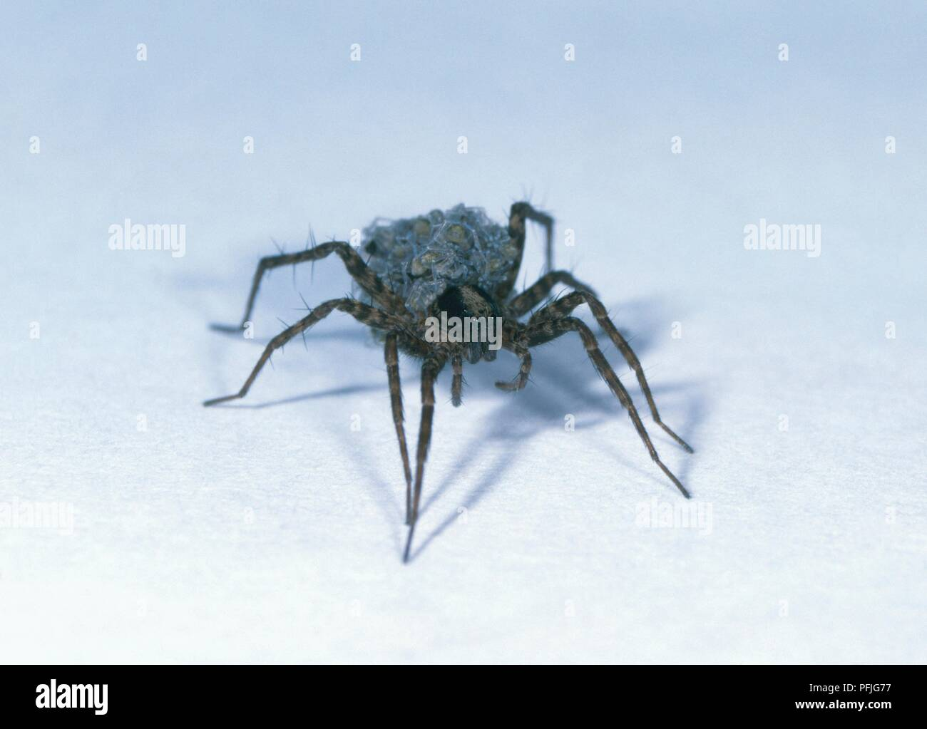 Meadow spider (Pardosa amentata) carrying young on back, front view - Stock Image