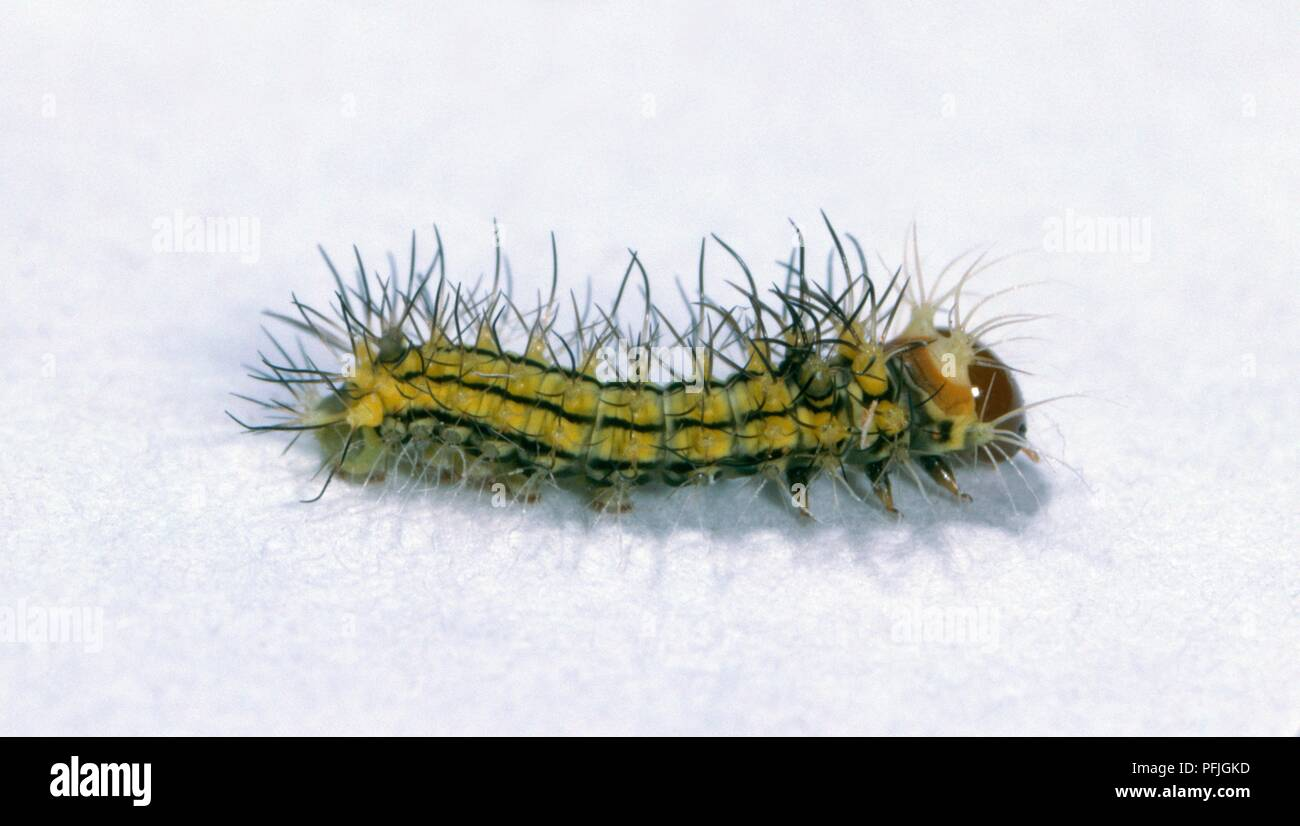 Chinese oak silk moth (Antheraea pernyi) caterpillar, hatchling Stock Photo